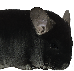 Black velvet -chinchilla