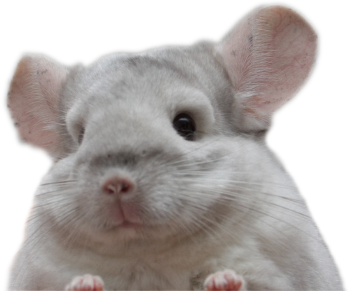 Pink white -chinchilla